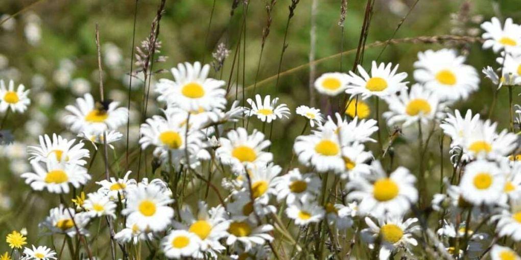 Oxeye Daisy (Chrysanthemum leucanthemum)