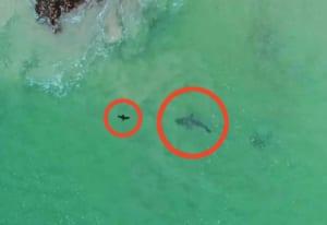 ホオジロザメに狙われたら絶対に逃げられないという事がよく分かる映像 南アフリカ沖