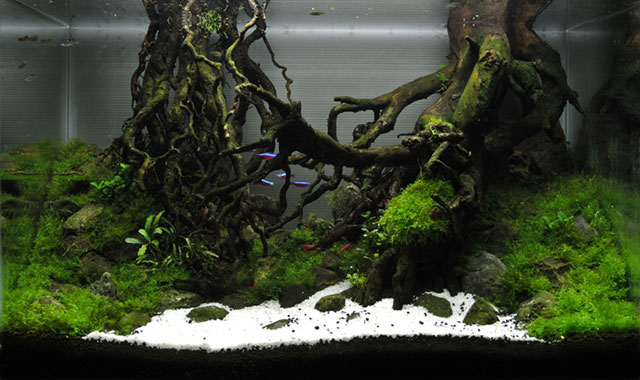 'The Dream'- Samson's entry for the International Aquatic Plants Layout Contest. Photo credit: AquaticsForevers