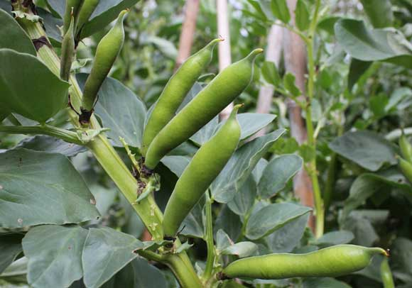 click through to view broad bean options