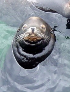 Sea Lion Wisdom