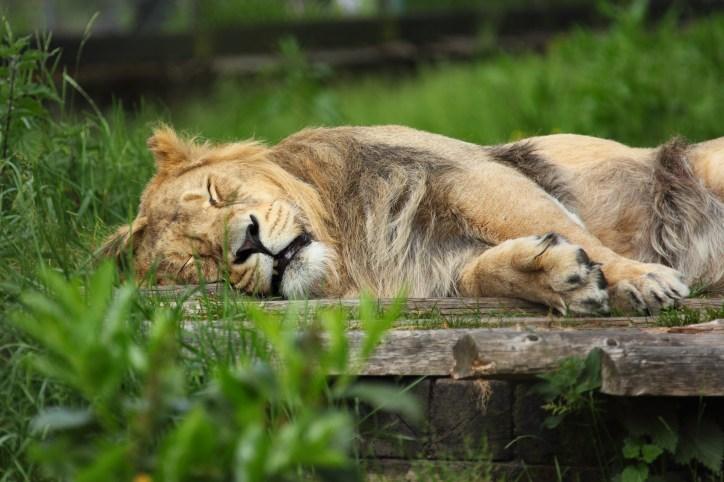 africa-lion-erst