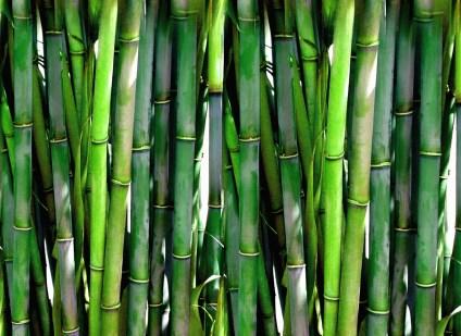 bambo-background