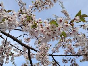cherry-tree-1