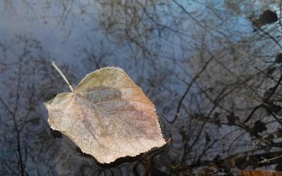 Las hojas estancadas en el río
