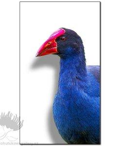 new zealand birds art print