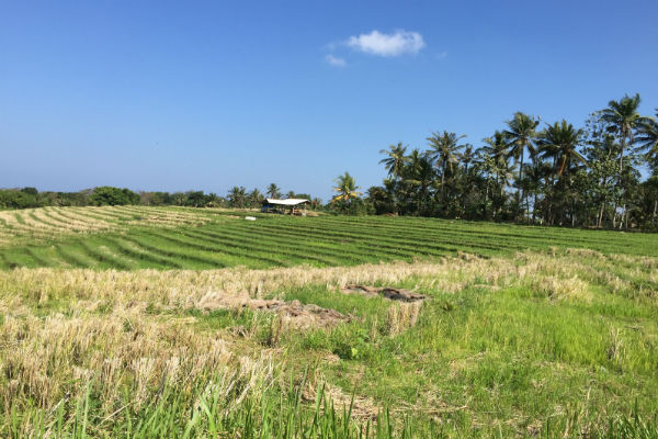 Rice fields next to our villa in the remote village of Antap, Bali
