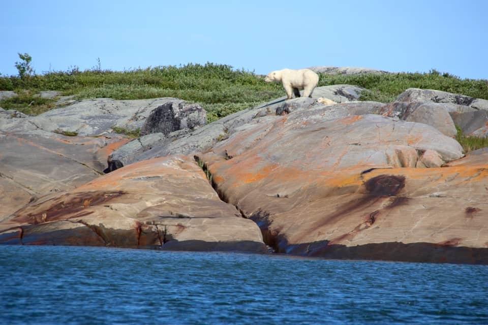 Beluga Whale and Polar Bear Safari: Churchill Manitoba, Polar Bears, Canada