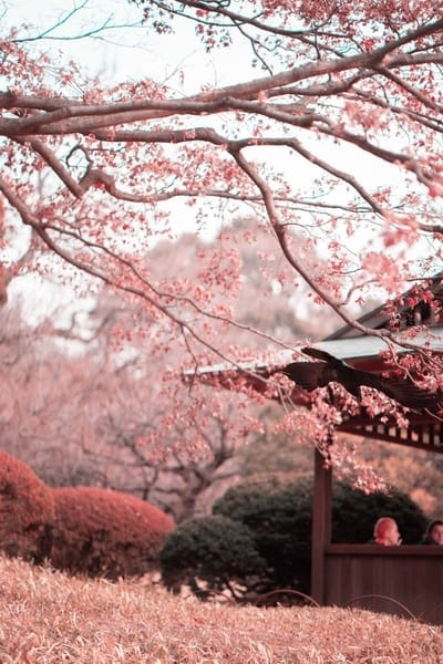 Favorite Cherry Blossom spots in Japan, sakura bloom, sakura, cherry blossom festival, Japanese cherry blossom tree, #japan #CherryBlossoms #spring