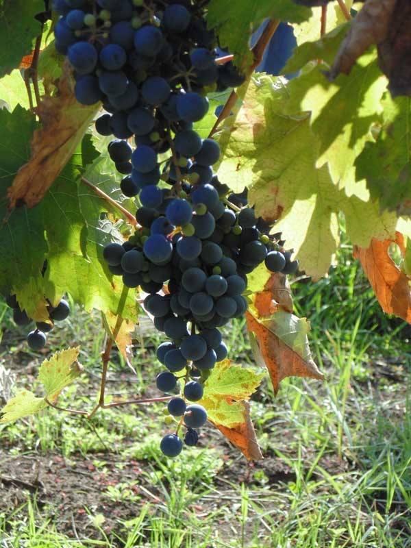 Georgian Wine Harvest