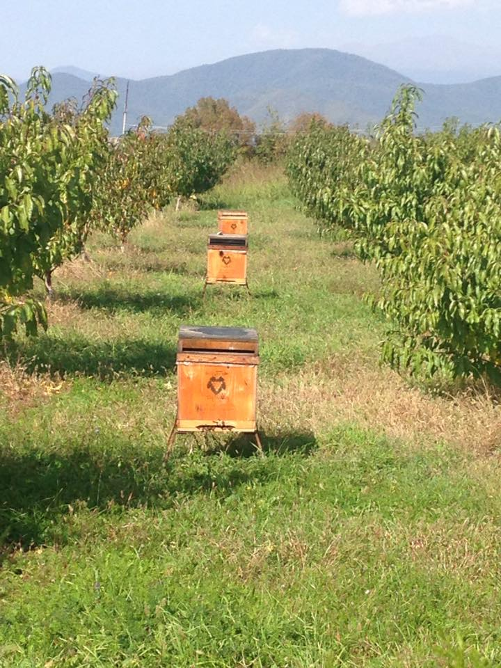 Bee hives sit between rows of vines in the Ampelographic Museum--a living museum containing 102 grape varieties. Georgians have recovered 450 of the 525 traditional grapes varieties that originally existed before being annexed by the Soviets.