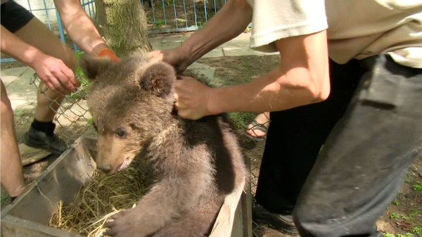 baby bear torn from mother ukraine