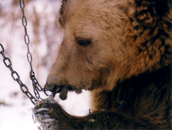 bear chained life sentence no parole