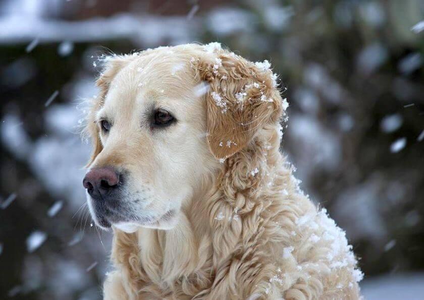 beautiful dog in snowfall