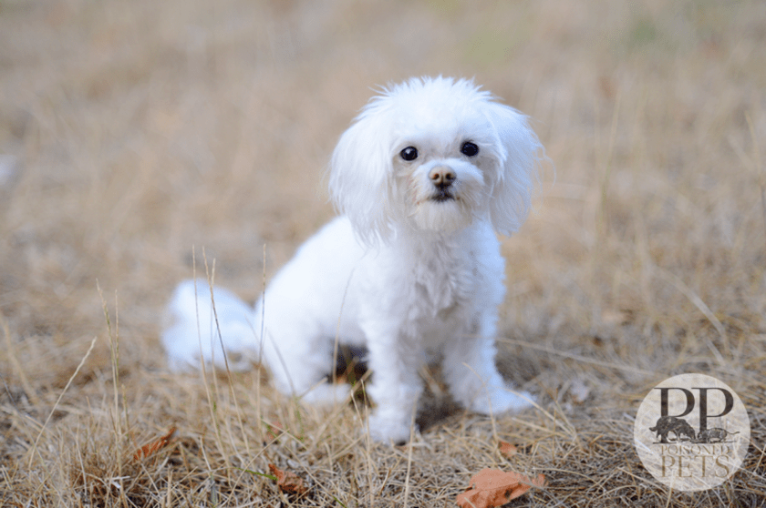 poor-little-poodle hill's dog food vitamin d recall