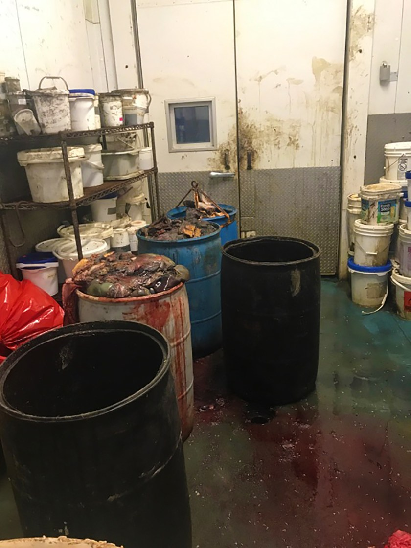 Long shot of the cooler room at the University where guts from euthanized animals (including horses) are stored in 55-gallon drums waiting for pickup and disposal by Bravo Packing. Note blood and maggots on the floor. And the old bucket of Fresh Step Kitty Litter in the background.