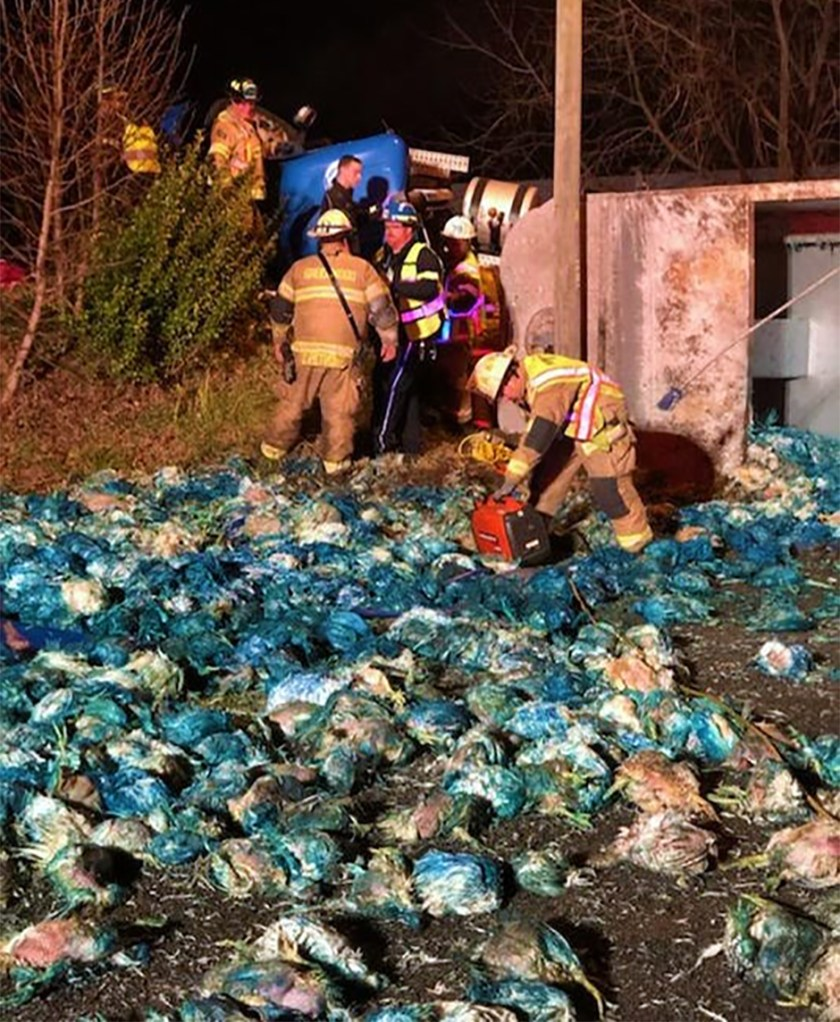 The aftermath of an overturned Valley Proteins semi carrying dead chickens died blue to distinguish them as suitable for use animal food consumption.