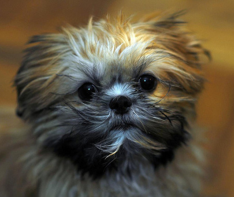 cute little dog looks like a squeedorable rag muffin
