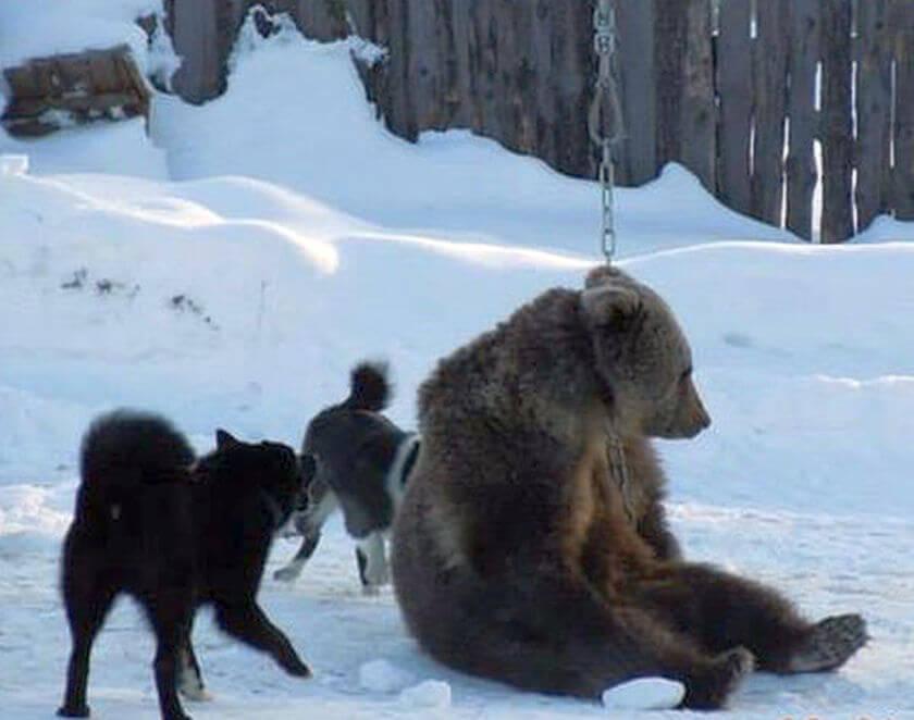 Royal Canin admits sponsoring barbaric bear-baiting events