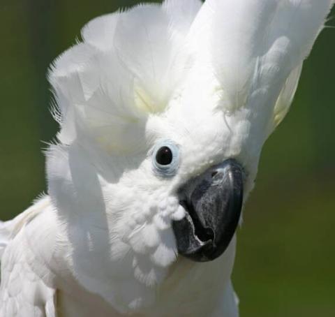 cockatoo white