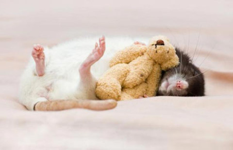 cute-rat-photo-sleeping