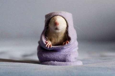 mouse wearing hoodie