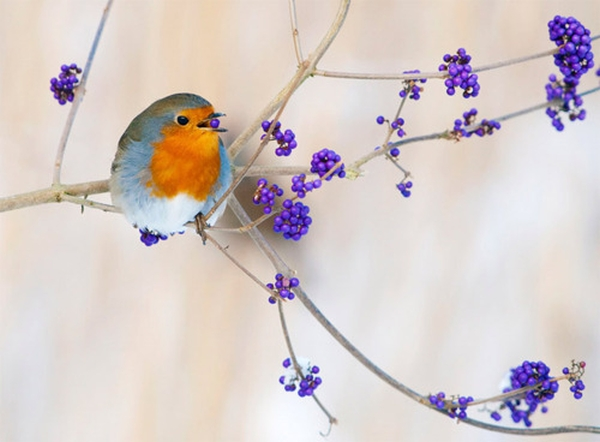 Berry bad birdy num nums