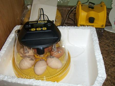 First eggs in the incubator