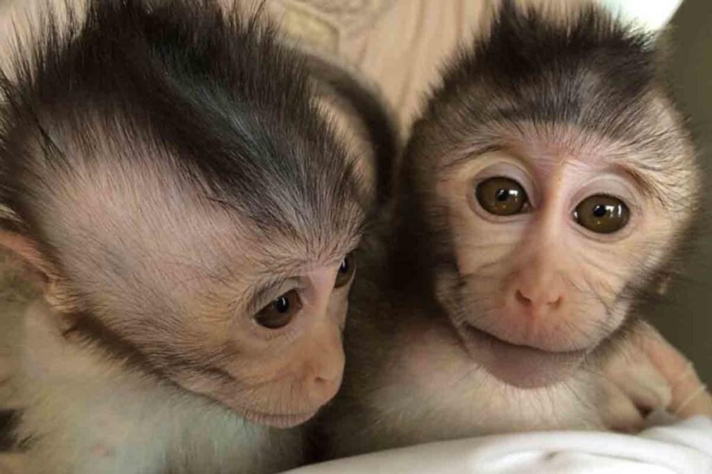 macacos autismo 1024x682 - Cientistas chineses criam macacos autistas em pesquisa cruel