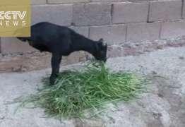 Cabra de duas patas aprende a andar – VEJA VÍDEO