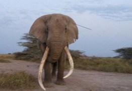 Elefante procura ajuda após levar flechada na cabeça e comove a internet