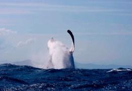 PERIGO: Pescador em canoa é surpreendido por duas baleias jubarte de 50 toneladas – VEJA VÍDEO