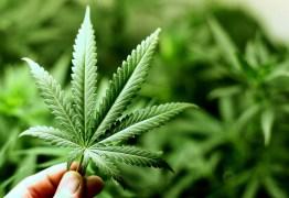 MEDICINAL: Anvisa dá primeiro passo para regular plantio de maconha no Brasil