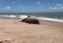 Banhistas encontram golfinho morto na praia do Bessa, em João Pessoa