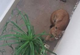 Morador leva susto ao encontrar onça-parda em corredor de residência