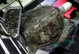 Tartaruga que engoliu mais de 900 moedas começa reabilitação