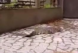 VEJA VÍDEO: Jacaré do papo amarelo é capturado na Avenida Beira Rio, em João Pessoa