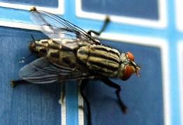 Estudo mostra que moscas podem transmitir mais doenças do que se imaginava