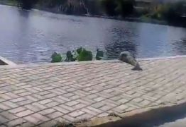 VEJA VÍDEO: Jacaré é filmado em lago da Universidade Federal