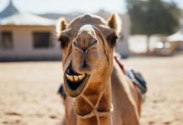 Camelos são eliminados em concurso de beleza por uso de botox