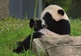 Vida dos pandas inclui pênis minúsculo, balidos de cabra e porrada – Confira