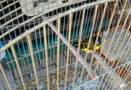 OPERAÇÃO CANÁRIO PISTOLA: Polícia prende 10 suspeitos de tráfico de pássaros silvestres