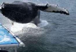 VEJA VÍDEO: Turistas tomam susto quando baleia salta quase em cima de barco