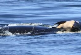 Orca deixa corpo de filhote morto após 17 dias carregando animal
