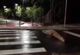 VEJA VÍDEO: jacaré é flagrado 'atravessando' faixa de pedestre
