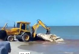 VEJA VÍDEO: Baleia morta é retirada de praia no município de Lucena