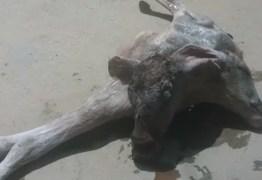 Nasce bezerra de duas cabeças na Zona Rural de Cajazeiras: VEJA VÍDEO