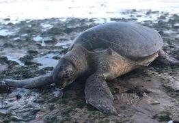 Tartaruga gigante é encontrada morta na praia do Cabo Branco