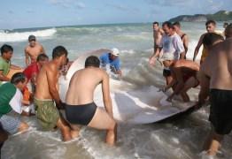 Arraia gigante chama a atenção de banhistas na praia de Ponta Negra
