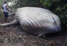 Aliens? Iniciativa Dharma? Baleia jubarte é encontrada em floresta no Pará